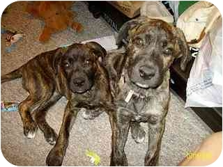 Cane Corso/Bullmastiff Mix Puppy for adoption in New York, New York - Gabby and Belle-SC