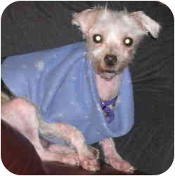 Maltese Mix Dog for adoption in Warren, New Jersey - Sparky