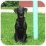 Photo 2 - Labrador Retriever Dog for adoption in Austin, Minnesota - Ezra