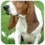 Photo 2 - Basset Hound Dog for adoption in Wyoming, Minnesota - Lola- Purebred
