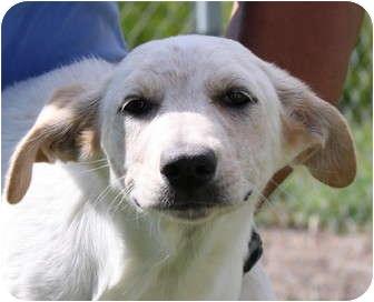 Australian Shepherd/Hound (Unknown Type) Mix Puppy for adoption in Jerome, Idaho - 4688