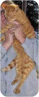 Domestic Shorthair Cat for adoption in Lexington, Missouri - Brodie