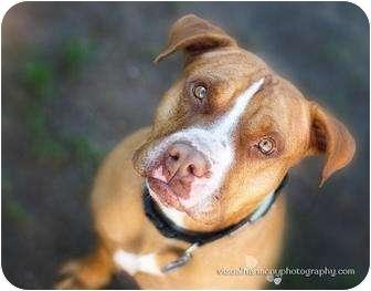 Boxer/Staffordshire Bull Terrier Mix Dog for adoption in Phoenix, Arizona - TROOPER