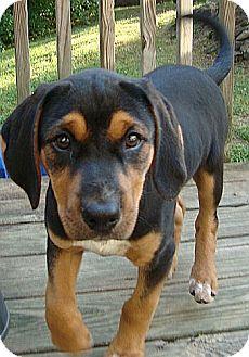 Black and Tan Coonhound Mix Puppy for adoption in Harrisonburg, Virginia - Brigitte
