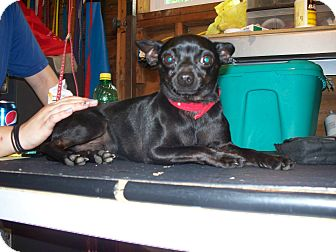 Chihuahua Dog for adoption in manville, New Jersey - Pepper