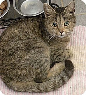Siamese Cat for adoption in Rohrersville, Maryland - Lolly with the Mystic Green Eyes