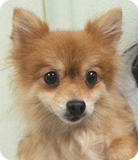 Pomeranian Dog for adoption in Orlando, Florida - Bride