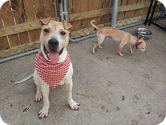 Shar Pei Mix Puppy for adoption in Apple Valley, California - Baker in Texas