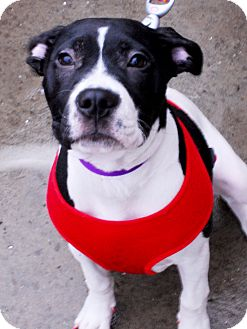 American Staffordshire Terrier Mix Puppy for adoption in Detroit, Michigan - Kallie-Adopted!