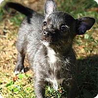 Adopt A Pet :: Bambi - Burr Ridge, IL