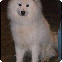 Adopt A Pet :: Snowflake - Arvada, CO