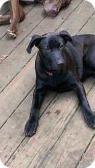 Labrador Retriever Mix Dog for adoption in Charlestown, Rhode Island - Aladdin