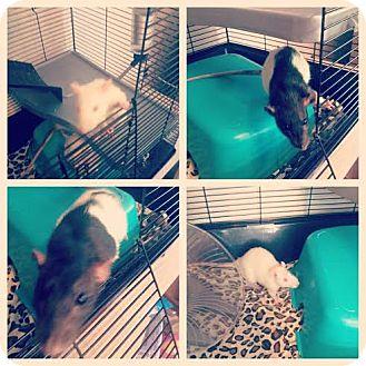 Rat for adoption in Philadelphia, Pennsylvania - JAN/RIZZO/FRENCHIE/MARTY
