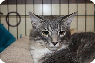 Domestic Mediumhair Cat for adoption in Little Falls, New Jersey - Leonardo