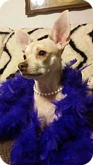 Chihuahua Mix Dog for adoption in Fairview Heights, Illinois - Rose