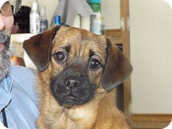 Pug/Chihuahua Mix Dog for adoption in Rosemount, Minnesota - Duke
