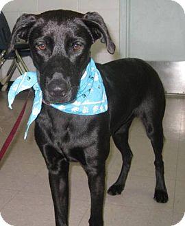 Labrador Retriever Mix Dog for adoption in Port St. Joe, Florida - Rasha