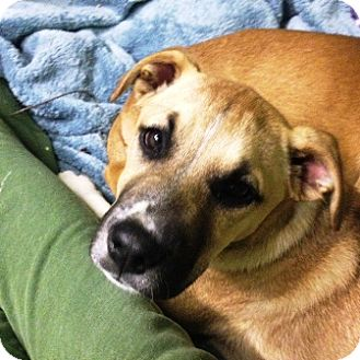 Boxer Mix Puppy for adoption in Turnersville, New Jersey - Ziti (Pup)-Adopted!