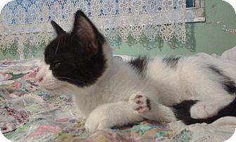 Domestic Shorthair Kitten for adoption in Ocala, Florida - Han Solo