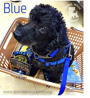 Poodle (Miniature) Mix Dog for adoption in Essex Junction, Vermont - Blu