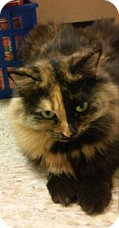 Domestic Longhair Cat for adoption in Yorba Linda, California - Kennedy