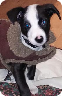 Labrador Retriever/Shepherd (Unknown Type) Mix Puppy for adoption in Point Pleasant, Pennsylvania - WOODY - ADOPTION PENDING