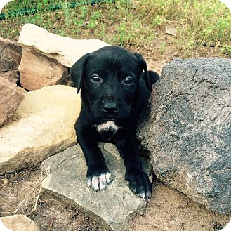 Labrador Retriever/German Shepherd Dog Mix Puppy for adoption in Cleveland, Oklahoma - Rosie