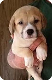 Golden Retriever Mix Puppy for adoption in Gainesville, Florida - Cornbread