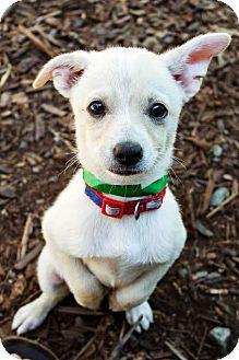 American Eskimo Dog/Chihuahua Mix Puppy for adoption in Eugene, Oregon - Rudy