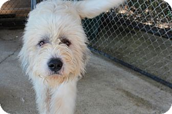 Great Pyrenees/Schnauzer (Giant) Mix Dog for adoption in Harmony, Glocester, Rhode Island - Loki