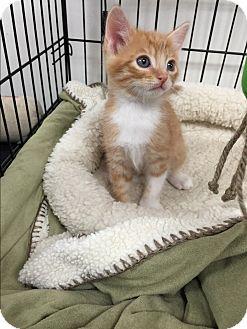 Domestic Shorthair Kitten for adoption in Tehachapi, California - Pumpkin