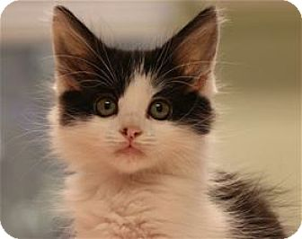 Domestic Longhair Kitten for adoption in Lincoln, California - Madison