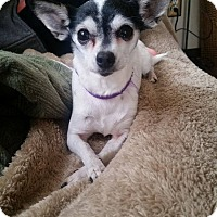 Adopt A Pet :: Nina - bridgeport, CT