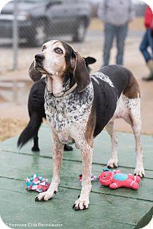 Bluetick Coonhound Mix Dog for adoption in Mechanicsburg, Ohio - Whiskey