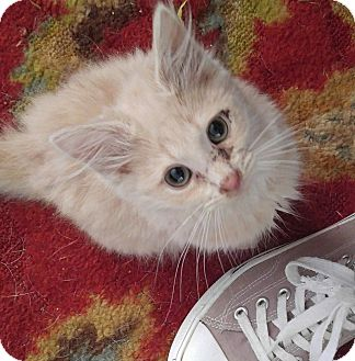 Domestic Mediumhair Cat for adoption in Garner, North Carolina - Papaya