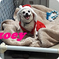 Chihuahua Mix Dog for adoption in Scottsdale, Arizona - Zoey