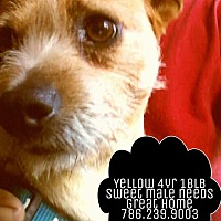 Cairn Terrier/Wirehaired Fox Terrier Mix Dog for adoption in Miami, Florida - Yellow (786) 239-9003
