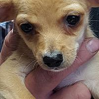 Adopt A Pet :: Dino - Yelm, WA