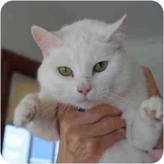 Domestic Shorthair Cat for adoption in Toledo, Ohio - Jewel