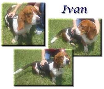 Basset Hound Dog for adoption in Marietta, Georgia - Ivan