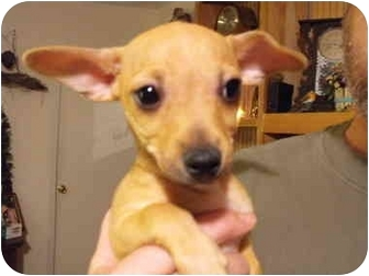 Chihuahua/Chihuahua Mix Puppy for adoption in Wilminton, Delaware - Suzie