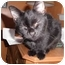 Photo 2 - Domestic Shorthair Cat for adoption in Warren, Michigan - Gemini
