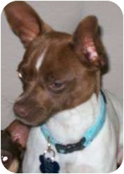 Chihuahua/Rat Terrier Mix Dog for adoption in Edmond, Oklahoma - Pinto