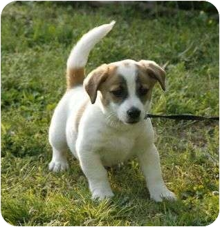 Jack Russell Terrier Mix Puppy for adoption in Spring Valley, New York - Avery