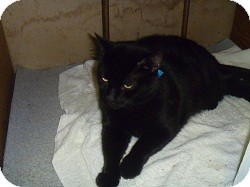 Domestic Shorthair Cat for adoption in Hamburg, New York - Midnight