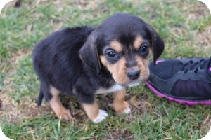 Beagle Puppy for adoption in Marlton, New Jersey - Baby Callie