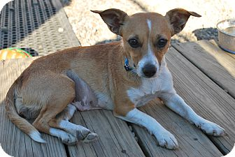 Fox Terrier (Smooth)/Jack Russell Terrier Mix Dog for adoption in Berea, Ohio - Holly