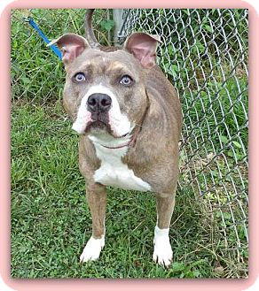 American Pit Bull Terrier Mix Dog for adoption in Marietta, Georgia - LAYLA - see video