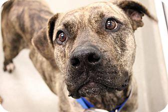 Mastiff Mix Dog for adoption in Columbus, Georgia - Minka 163B