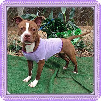 Pit Bull Terrier Mix Dog for adoption in Marietta, Georgia - KIA
